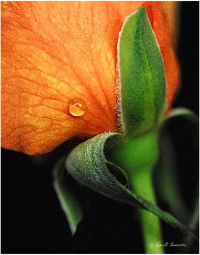 Raindrop on Rose
